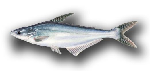 Umpan Ikan Patin Kolam Paling Jitu Dan Mudah Membuatnya