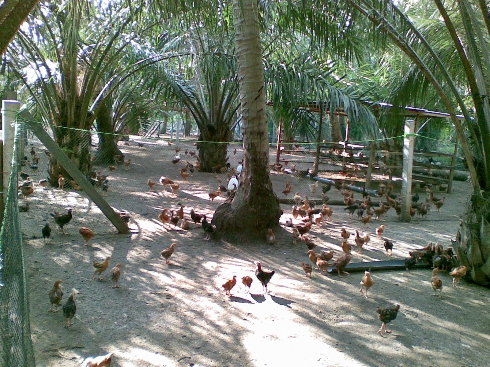 Resiko Ternak Ayam Secara Umbaran - Bisnis Ayam Kampung