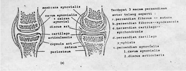 sendi synovialis di tulang lutut manusia