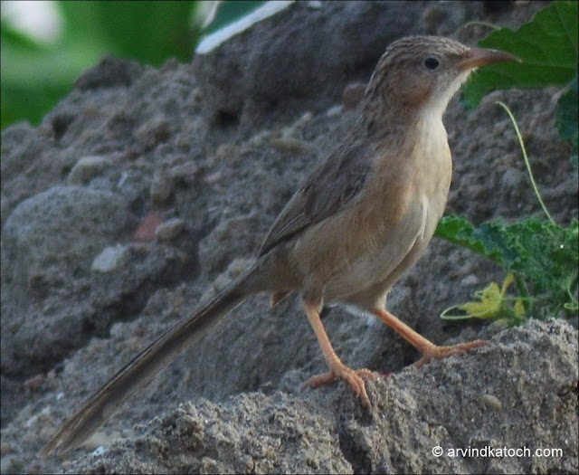 Common Babbler, Babbler,