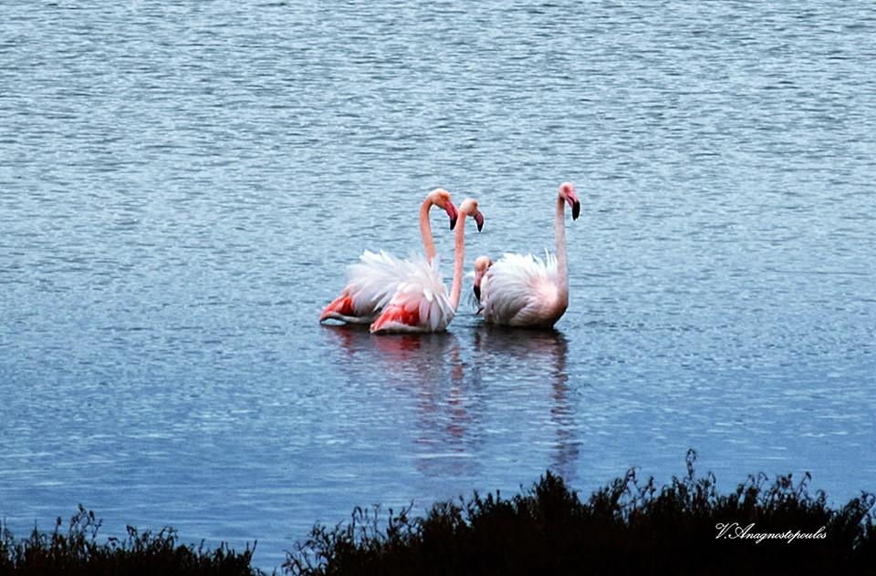 Σαγηνεύουν τα ροζ φλαμίνγκο στη λίμνη Βιστωνίδα της Ξάνθης