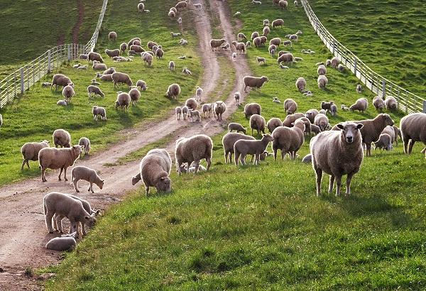 nông trại cừu