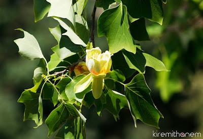Lale Ağacı & Google Resimli Arama Özelliği