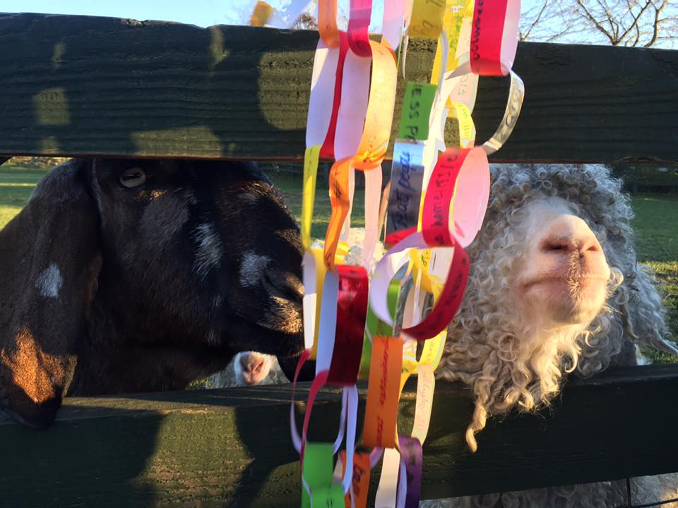 The goat and sheep loved having their pen decorated with your pledges.