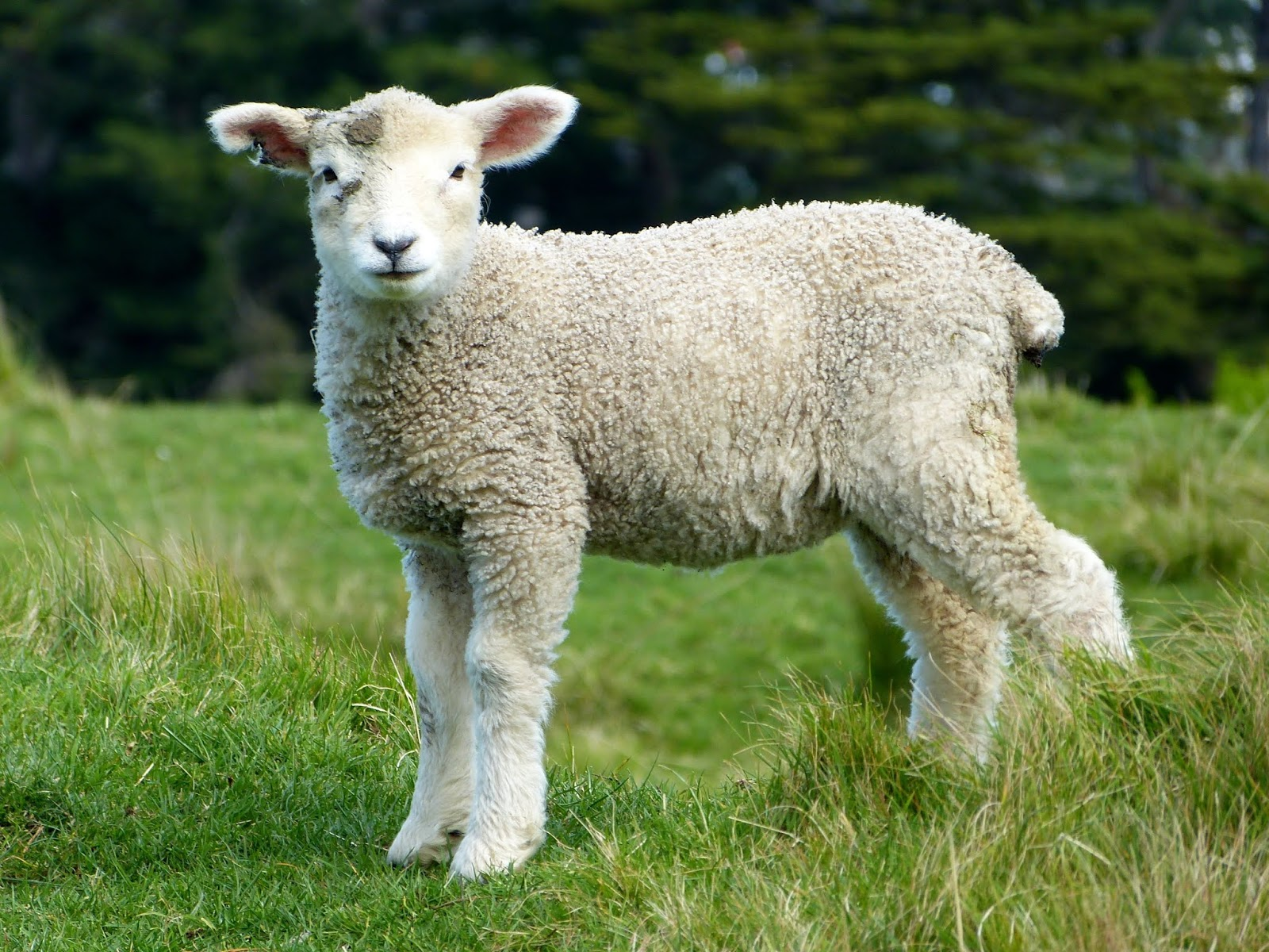 lamb in the field of grass