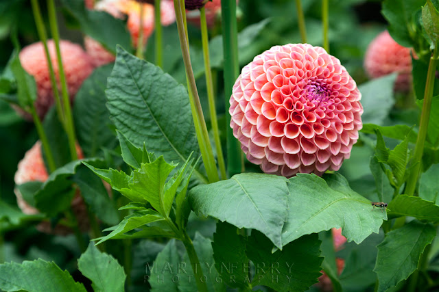 Lovely looking dahlia in the grounds of Anglesey Abbey by Martyn Ferry Photography