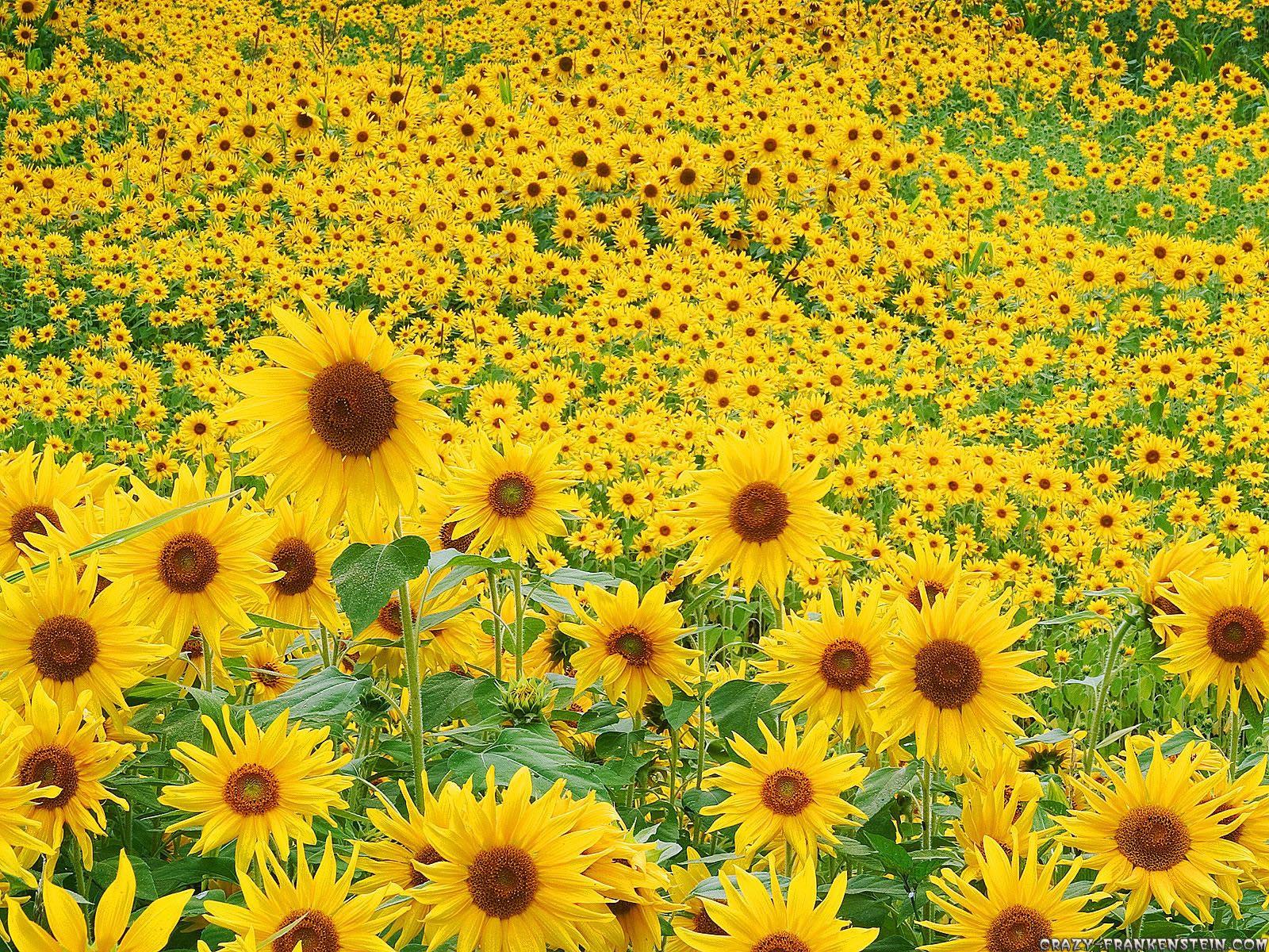 Free Wallpapers: Sunflower Wallpaper