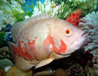Jenis Ikan Oscar dan Harganya, Oscar Albino Tiger