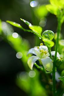 orange jasmine flowers