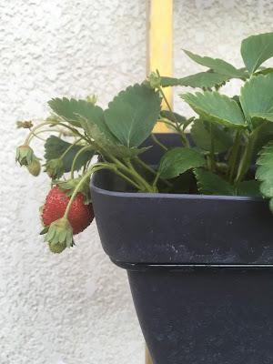 remonté de fraises