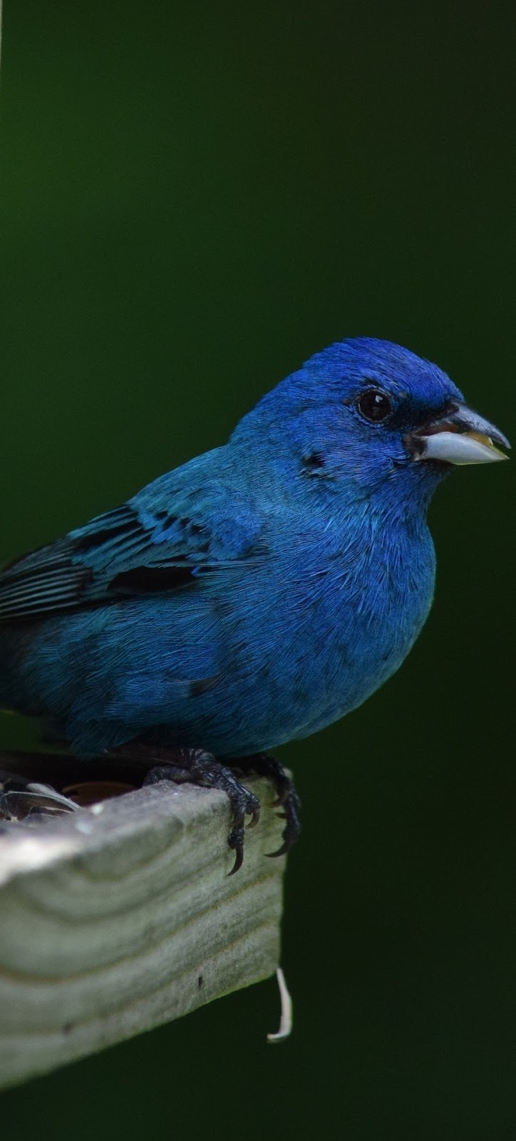 Picture of an Indigo bunting.