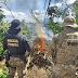 PF realiza operação de erradicação e destrói mais de 500 mil pés de maconha no Sertão de Pernambuco