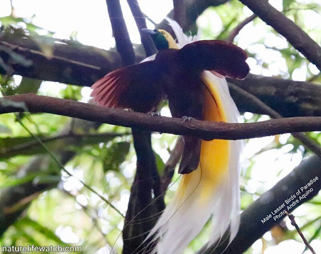 Burung Cendrawasih Kuning Kecil atau Lesser Birds of Paradise (Paradisaea minor)