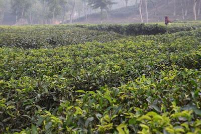 Mathiura tea garden in Moulvibazar