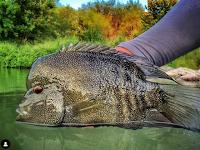 Texas Freshwater Fly Fishing, Texas Fly Fishing, Fly Fishing Texas, TFFF, Rio Grande Cichlid, Fly Fishing for Rio Grande Cichlids, Flies for Rio Grade Cichlid, Pat Kellner, Odom Wu
