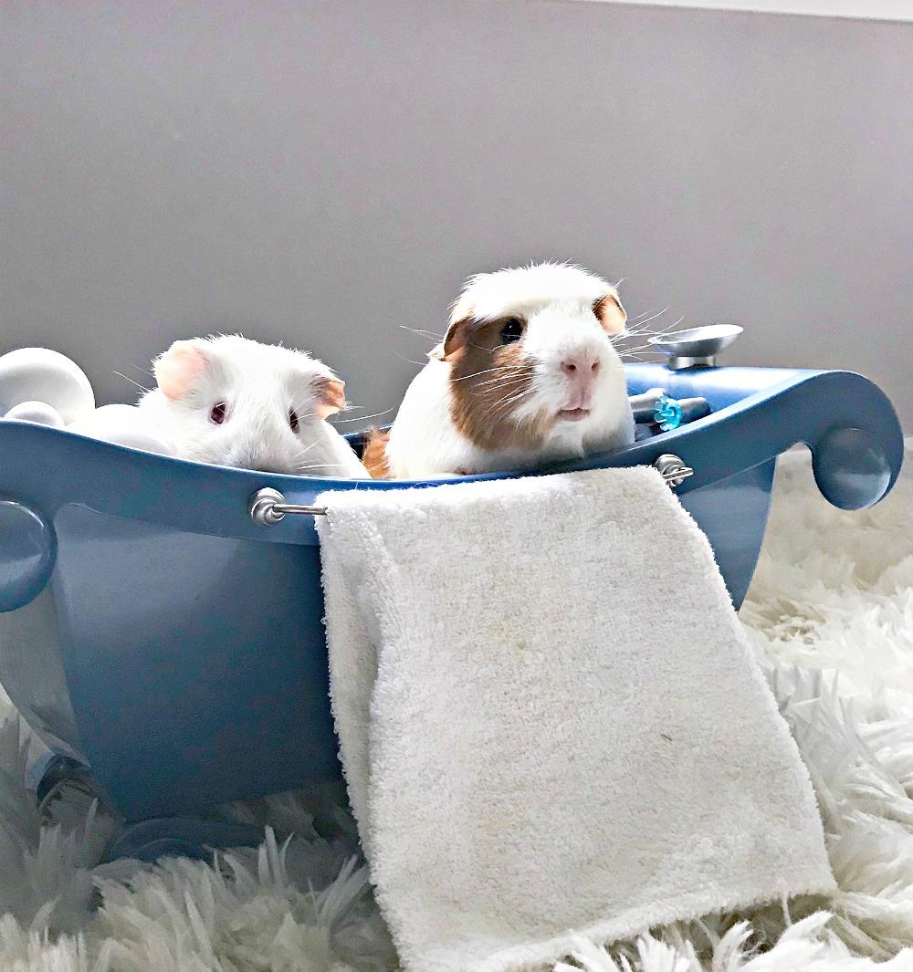 guinea pigs in the bath