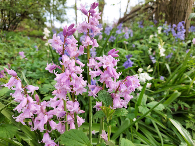 Close up of pink Spanish bluebells with white and bluebells in the background