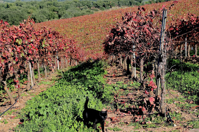 vineyard,, alentejo, pic: Kerstin Rodgers/msmarmitelover