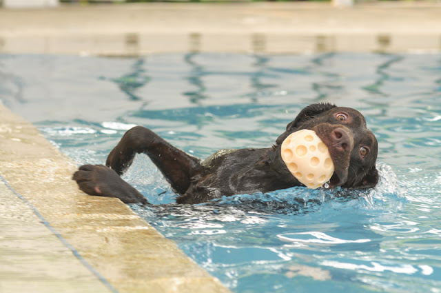 If you lead a Lab to water, should you let them swim?