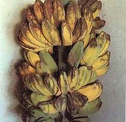 Gambar Pisang Kapok kuning