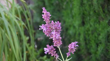 Salvia canariensis 'Lancelot', una planta tolerante a la sequía con flores que atraen miradas y polinizadores