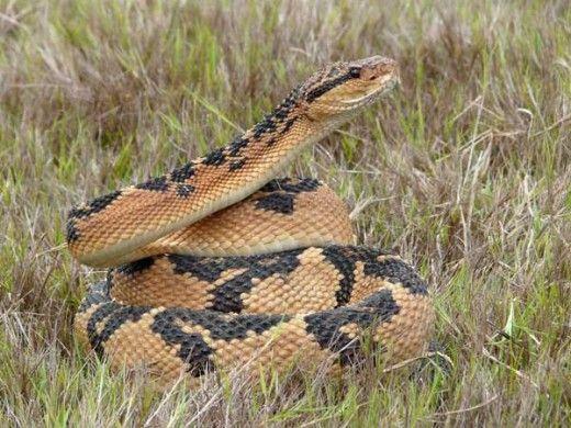 rắn Bushmaster