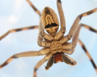 biggest spiders, biggest spiders in world, biggest spiders in the world, giant spiders from australia, biggest australian spider, biggest spiders in australia, giant spiders movie, giant spiders halloween, biggest michigan spiders, giant spiders for halloween decorations,