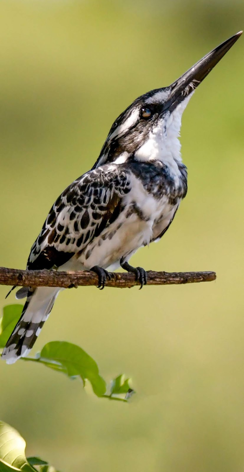 Picture of a pied kingfisher.