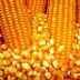 Governo amplia suprimento de milho a criadores de animais em todo o país