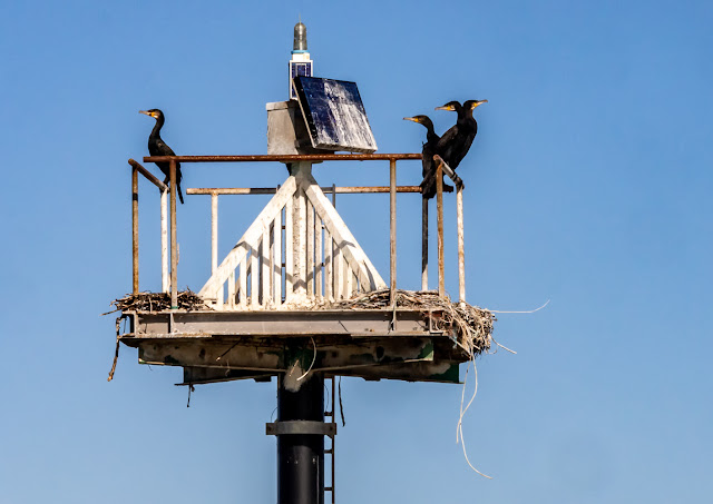Photo of cormorants on a navigation marker in the Solway Firth