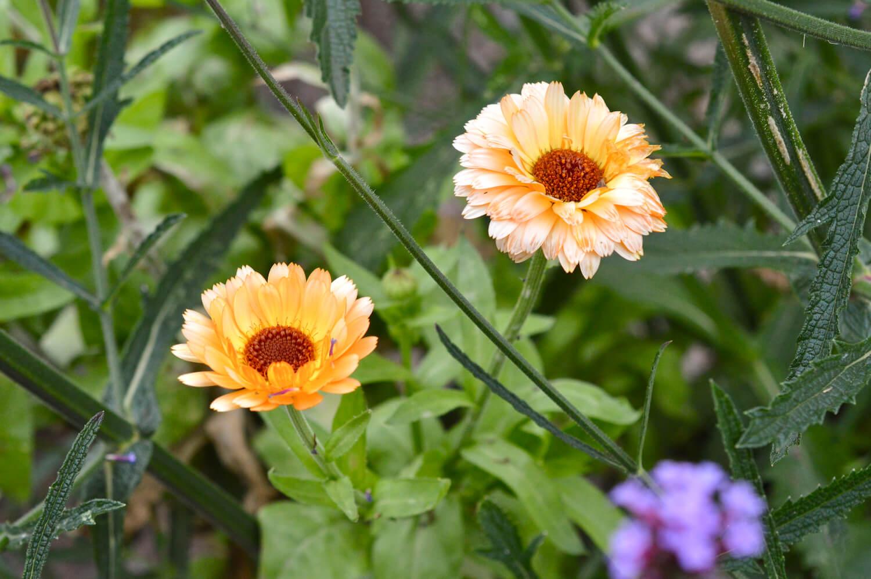 kehäkukka-syötävät-kukat