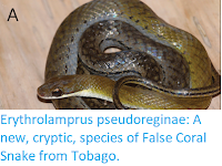 https://sciencythoughts.blogspot.com/2019/09/erythrolamprus-pseudoreginae-new.html