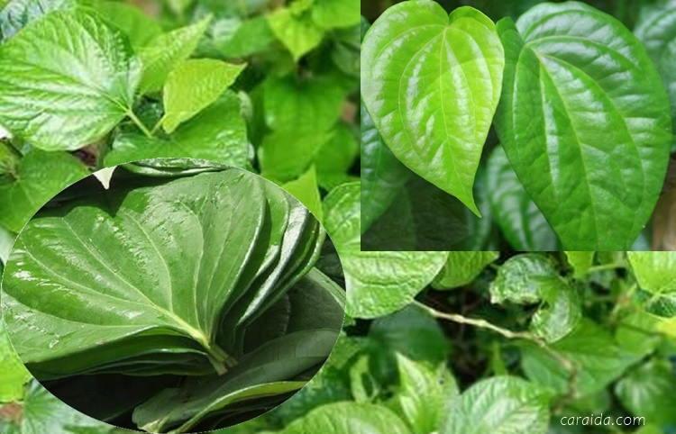 Daftar Khasiat dan manfaat daun sirih untuk pengobatan dan perawatan kesehatan alami
