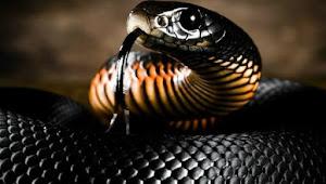 Hartanya menjelma menjadi seekor ular yang mempunyai dua titik hitam