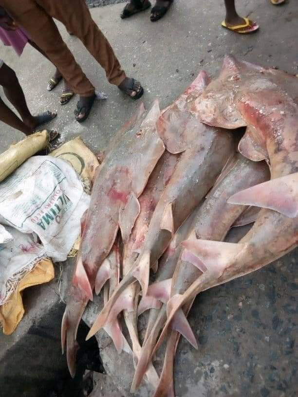 Happy Fisherman Catches Giant Stingray-Trygon Fish in Rivers State (See pictures)