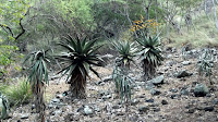 Aloes, Koko Crater Botanical Garden, Oahu, HI
