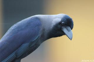 House crow Karnataka