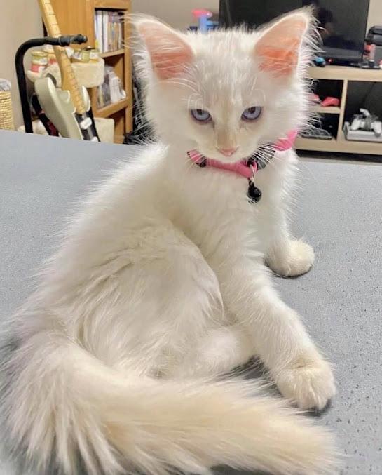 China Carnella's Art Blog Darling White Cat