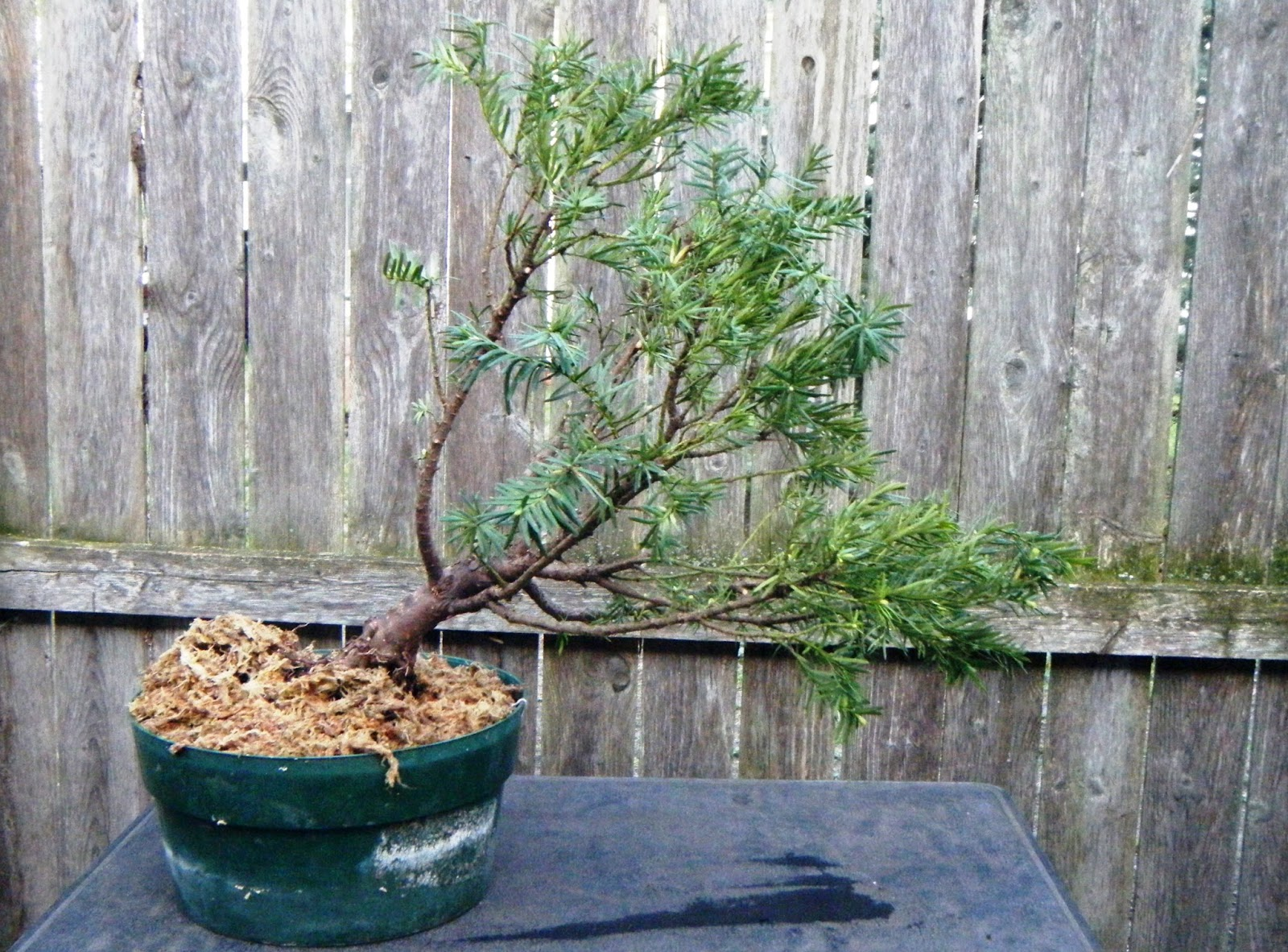 Bonsai In Hoosierland Continuing To Repot With Care