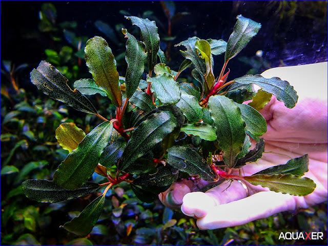 Có rất nhiều loại cây bucephalandra khác nhau