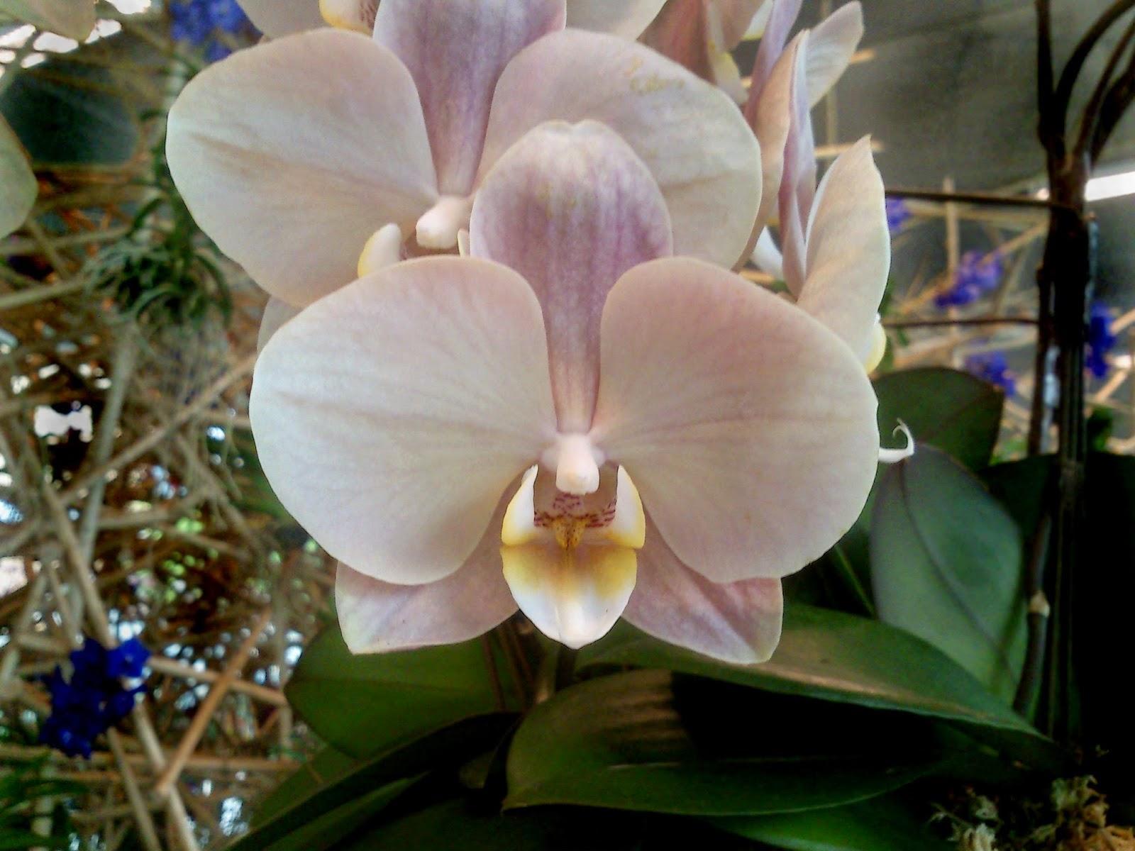 Phalaenopsis i blomst
