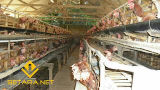 Tahapan Memulai Ternak Ayam Petelur | Panduan Lengkap