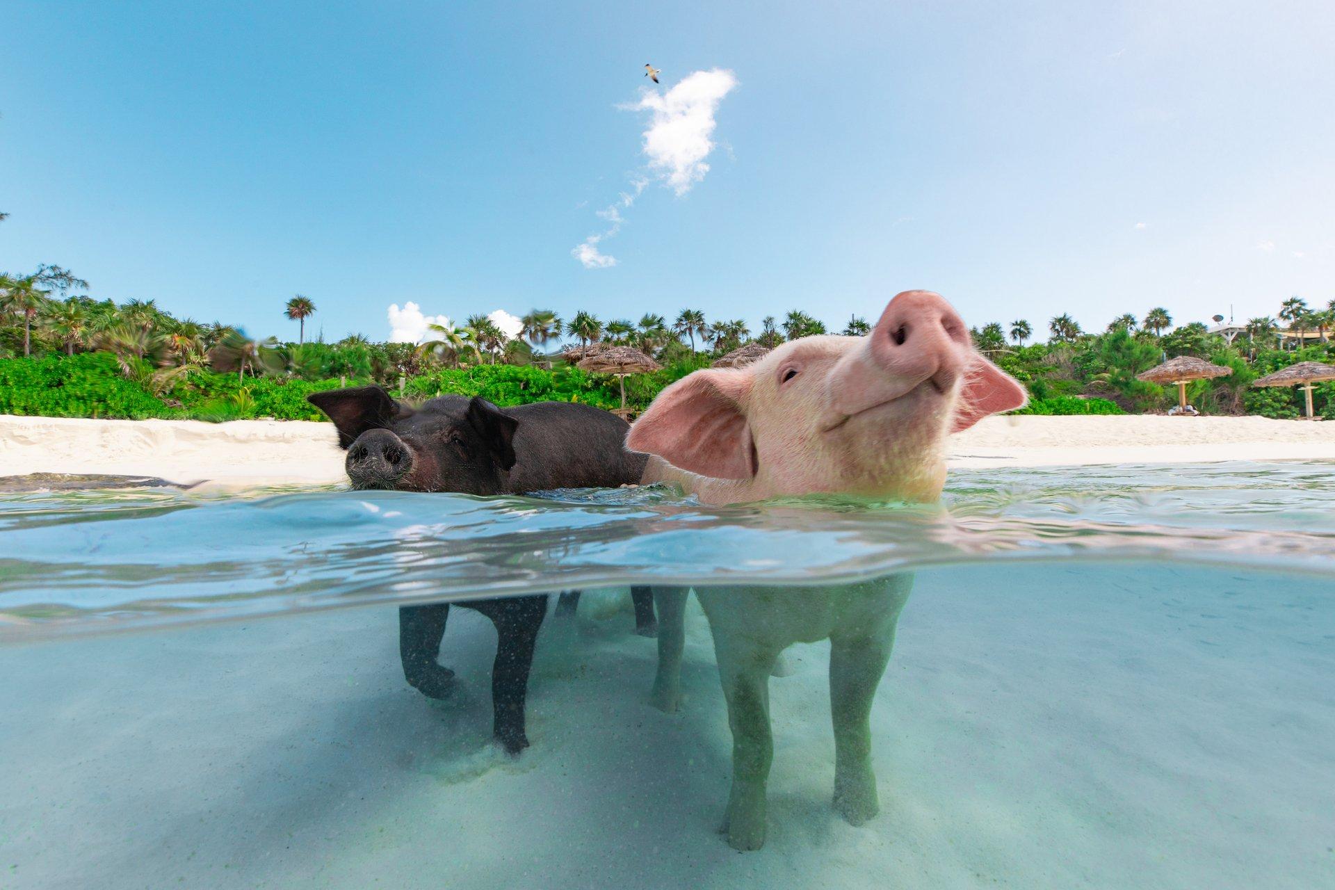Плавать со свиньями на Багамах