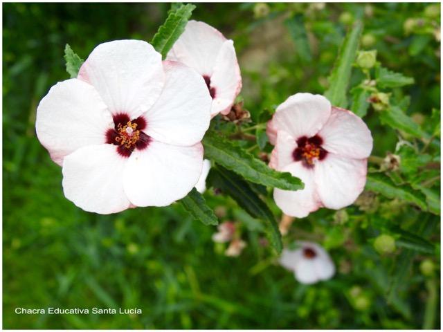 Pavonia en flor - Chacra Educativa Santa Lucía