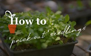 prick out seedlings