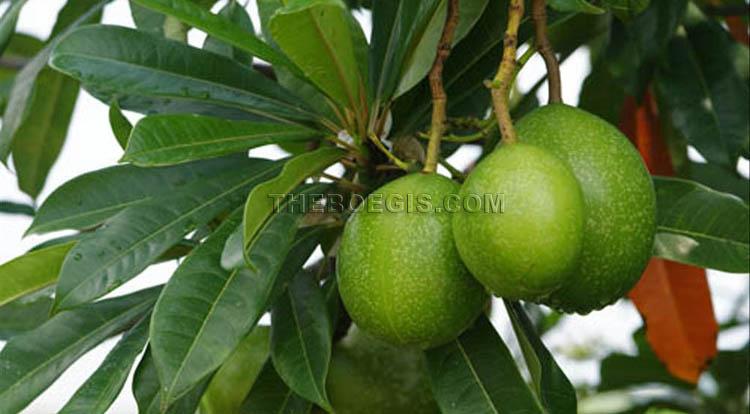Benefits of fruit Bintaro efficacy for body health