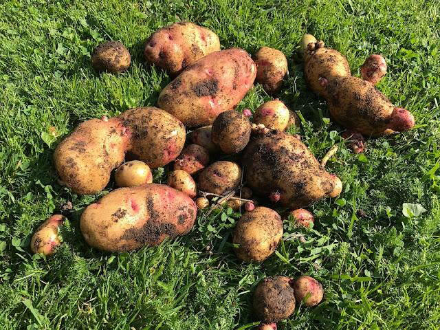 Kartoffel Galactica Ernte von 2 Pflanzen (c) by Joachim Wenk