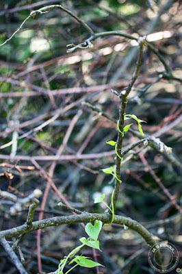 Samonikla biljka bljušt