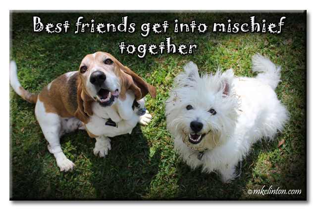 Bentley Basset Hound and Pierre Westie share everything including mischief