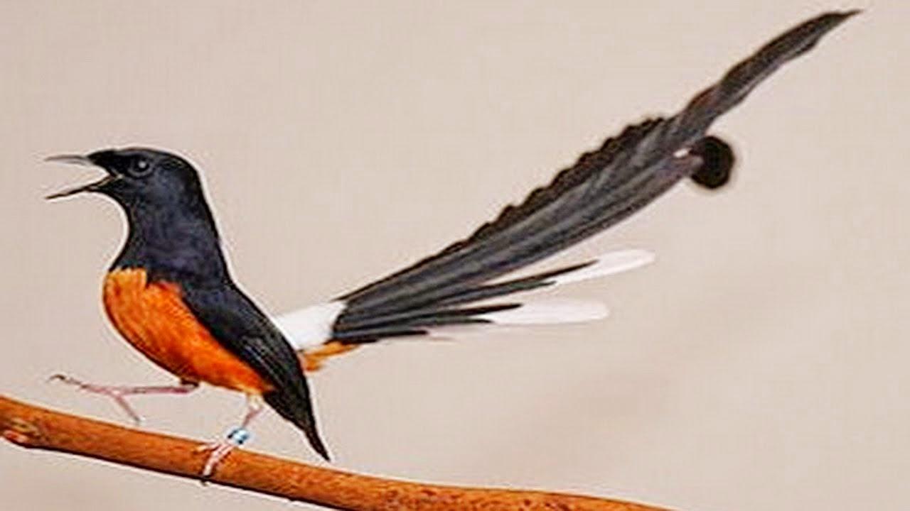 Panduang Lengkap Cara Praktis Ternak Burung Murai Yang Menguntungkan